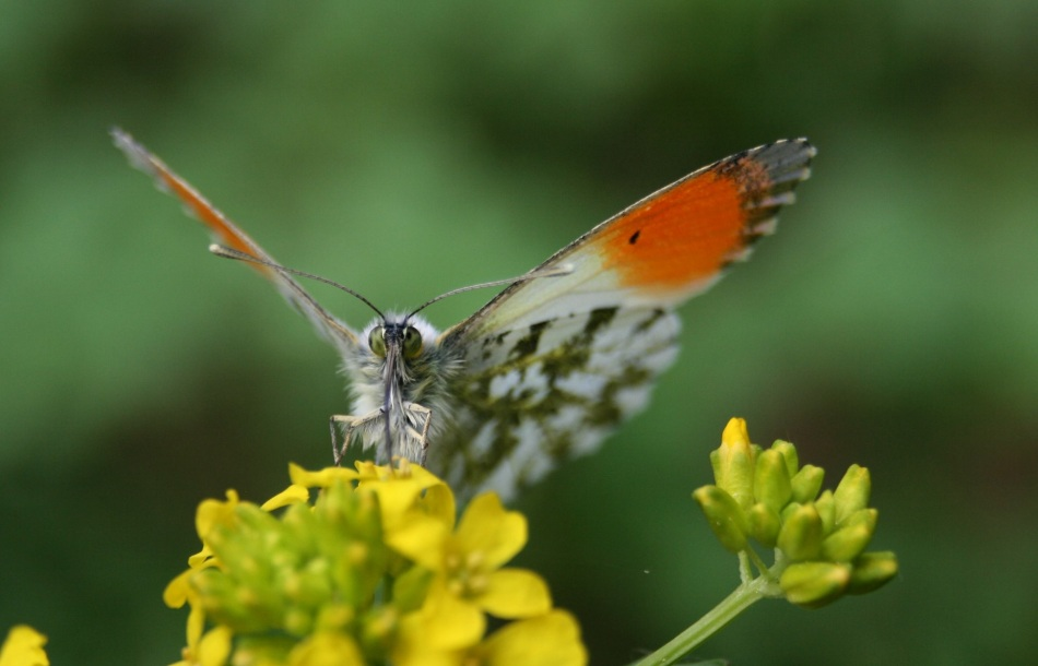 Butterfly_Macro_Ashcomb_2019_05_30.jpg